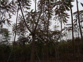 批发低价小乔木火炬树 西北沙漠绿化苗木火炬树