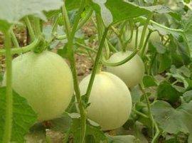 河北蔬菜批发市场最大饶阳水果批发市场王152321907777