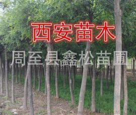供应绿化苗木 西北绿化行道树精品国槐