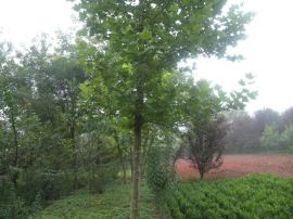 供应绿化行道树法桐 西北绿化乔木法桐