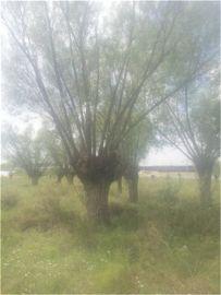 出售1米的古馒头柳百年旱柳80公分馒头柳旱柳供应8厘米古柳树