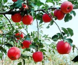 乔纳金苹果