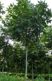 供应西北绿化风景树七叶树 精品绿化行道树西安七叶树基地