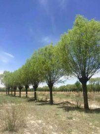 供应沙地柏出售陕西爬地柏馒头柳旱柳销售榆林爬地柏柳树樟子松