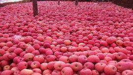 庆阳富士苹果