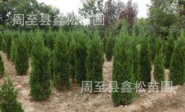 批发西北绿化行道树 处理2.5米塔柏