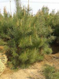 供应造林绿化苗木 西北地区绿化落地冠2.5米油松