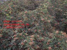 韩城大红袍花椒苗生产基地