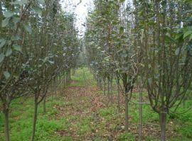 大量供应西府海棠 西北绿化工程风景树西府海棠