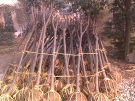 批发园林绿化工程苗木 2至15公分西安紫叶李