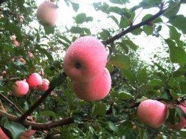 庆阳新红星苹果