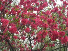 供应绿化彩叶风景树 西北绿化开花乔木红叶碧桃