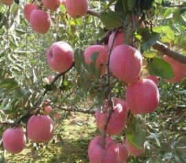 庆阳苹果红富士-二级果