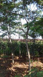 供应合欢 甘肃绿化工程苗木 西北绿化风景树合欢
