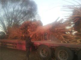 陕西榆林出售50公分旱柳1米馒头柳古柳树大馒头柳出售8公分旱柳16公分煤炭供应