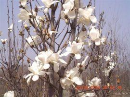 供应绿化风景树 西北开花乔木红白玉兰