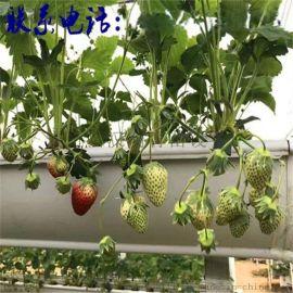 河南洛阳 草莓种植槽 体力种植 产量高吗