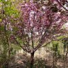 15公分的樱花哪里有 15公分的樱花多少钱