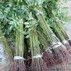 常年批发香椿苗 大棚香椿苗 提供种植技术