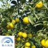 橘子樹苗媛小春,象山柑橘精品,每畝收益高