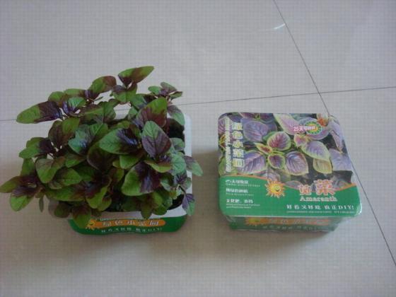 好看又好吃的绿色小菜园品种:空心菜苗/菠菜/苋菜