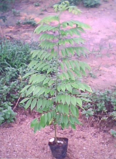 名贵树木叶子图片