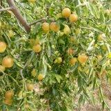 冬枣树苗多少钱一棵 沾化冬枣2号 矮化冬枣树苗