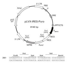 小鼠socs3 (nm_007707) orf克隆,载体plvx-ires-puro