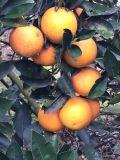 湖南麻陽現摘現賣橙子,冰糖橙,紐荷爾,錦蜜