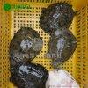 【河洲甲鱼】武汉野生甲鱼批发|中华鳖苗养殖