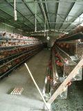 北碚附近哪裏有土雞苗批發;合川土雞苗批發市場;本地土雞苗價格