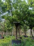 上海枝杆茂盛截杆全冠香樟28公分移栽,上海多杆香樟