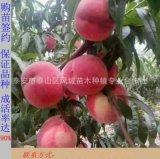 大量供应高质量映霜红桃苗