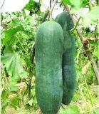 黑皮冬瓜45cm*20cm新鮮吊瓜