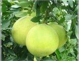 供應柚提取物 柚皮甙98%