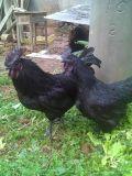 绿壳蛋鸡育种