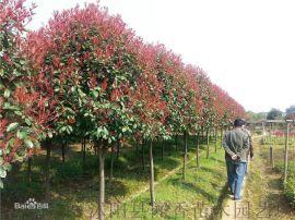 高杆红叶石楠 直径3~8公分 沭阳本地独杆红叶石楠冠幅茂盛