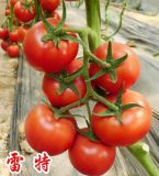 雷特(大红果)--抗TY大红番茄种子