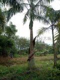 成都优质大王椰子,大王椰子4.5米最新农户价