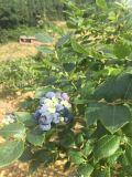 重庆哪有蓝莓采摘 巴渝蓝庄