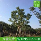 河南30公分大骨架香樟树,河南全冠香樟树多少钱