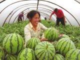 陝西蒲城大棚西瓜10斤以上批發價格
