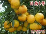 基地直供8月份-9月份上市日南一號早熟柑橘苗
