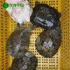 【河洲甲魚】紹興野生甲魚養殖|中華鱉批發