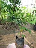 海南黃花梨(降香黃檀)樹苗