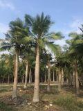 河南国王椰子地苗什么价,河南国王椰子袋苗哪里在卖