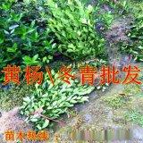 陝西周至苗木冬青基地 西安綠化隔離帶冬青球