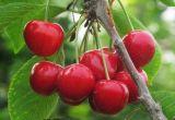 天下第一果《樱桃基地》陕西樱桃交易市场