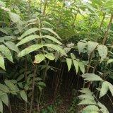 山东红油香椿苗批发 量大价优 大棚亩种植4万棵 效益大