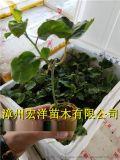 芭乐味百香果苗|哪里有卖台湾黄金百香果苗|一年苗